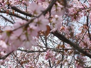 Sakura2_14