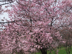 Sakura5_2